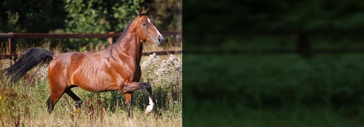 schwerfuttrige_Pferde